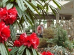 r-strigillosum-federal-way-rhododendron-garden-fixed