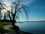 kirkland-tree-in-david-brink-park-by-laura-lowe