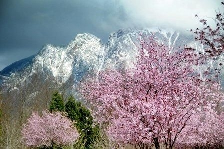 north-bend-lg-file-of-spring-tree