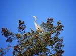 kenmore-blue-heron